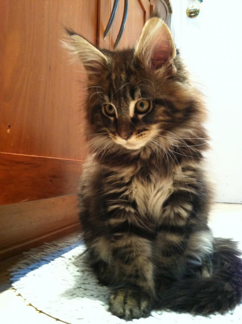 Coons'Kin Cat Maine Coons - About Coonskin Cat Maine Coons